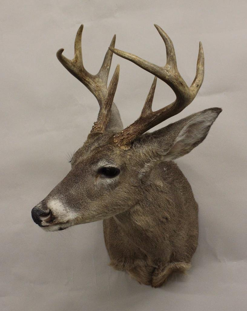 Whitetail Buck Shoulder Mount - 2
