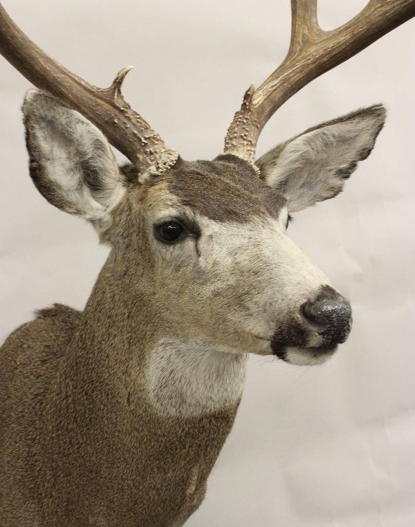 Mule Deer Shoulder Mount - 2