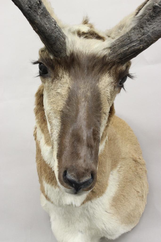 Pronghorn Antelope Shoulder Mount - 2