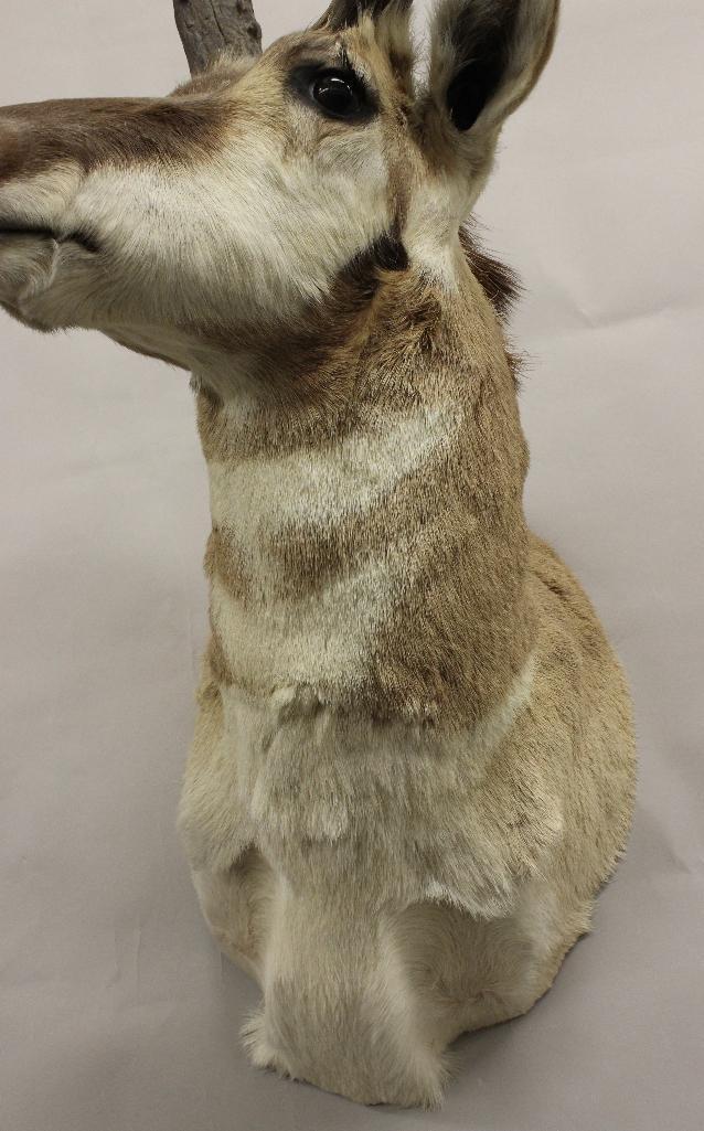Pronghorn Antelope Shoulder Mount - 3