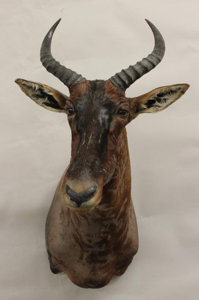 Tsessebe Buck Shoulder Mount