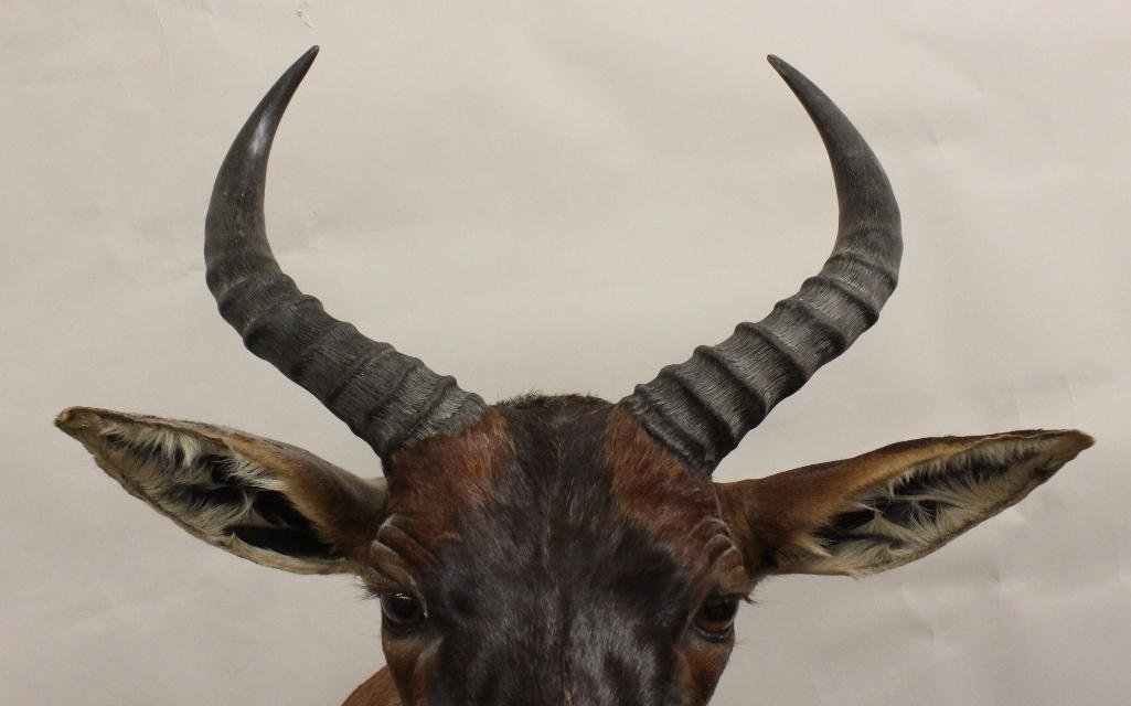 Tsessebe Buck Shoulder Mount - 4