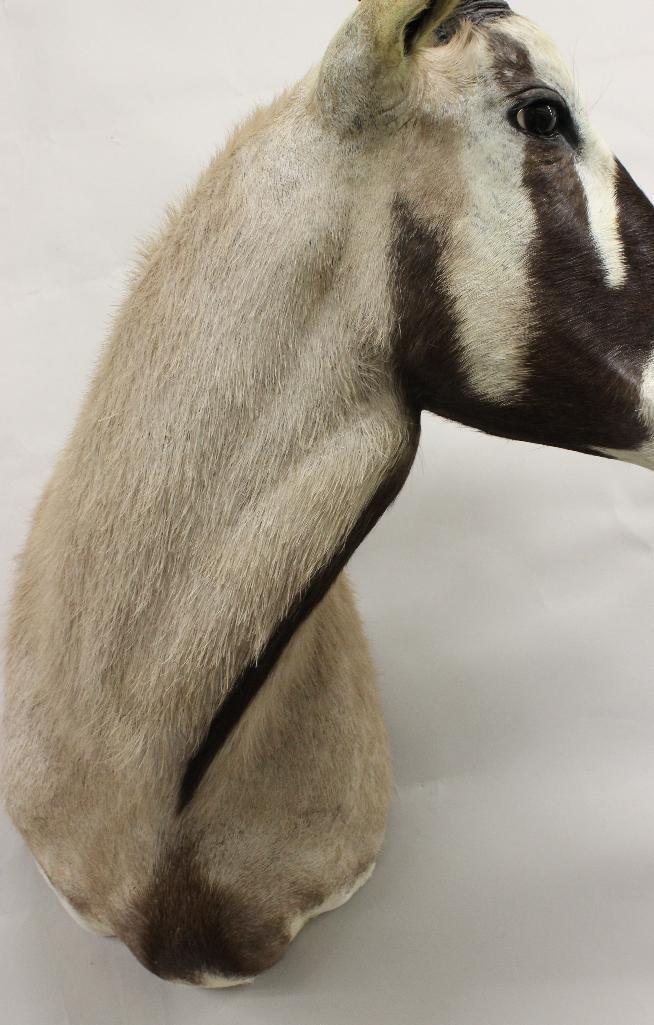 Gemsbok Shoulder Mount - 3