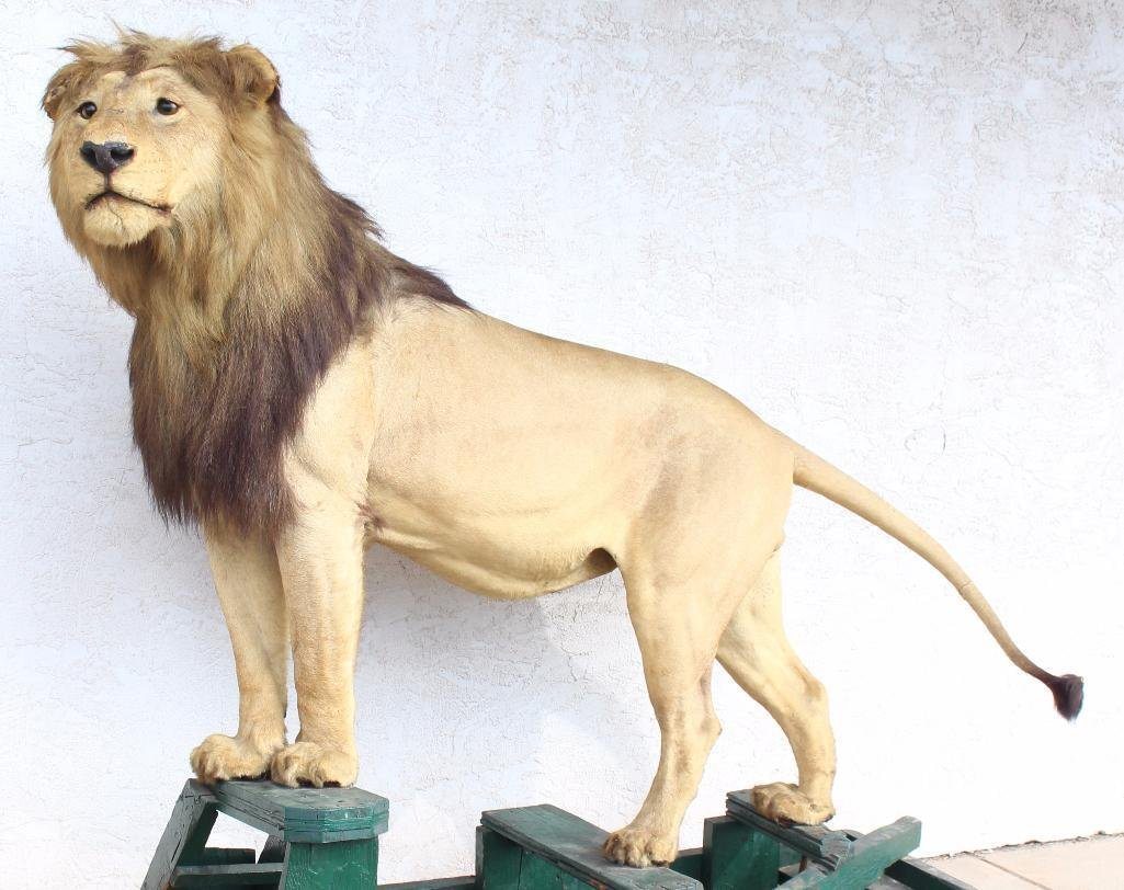 Male Lion Full Body Mount.