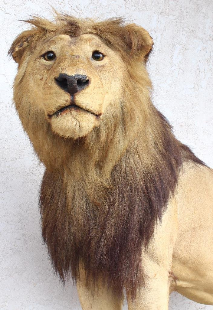 Male Lion Full Body Mount. - 2