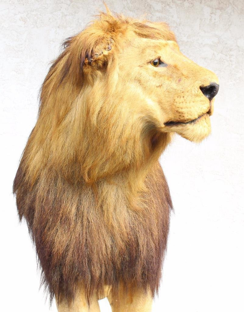 Male Lion Full Body Mount. - 6