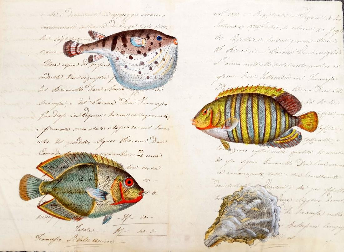HAND COLORED ENGRAVING OF FISH/MUSSEL ON MANUSCRIPT