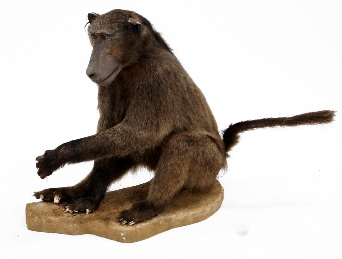 BABOON FULL BODY TAXIDERMY MOUNT. HEIGHT 28""