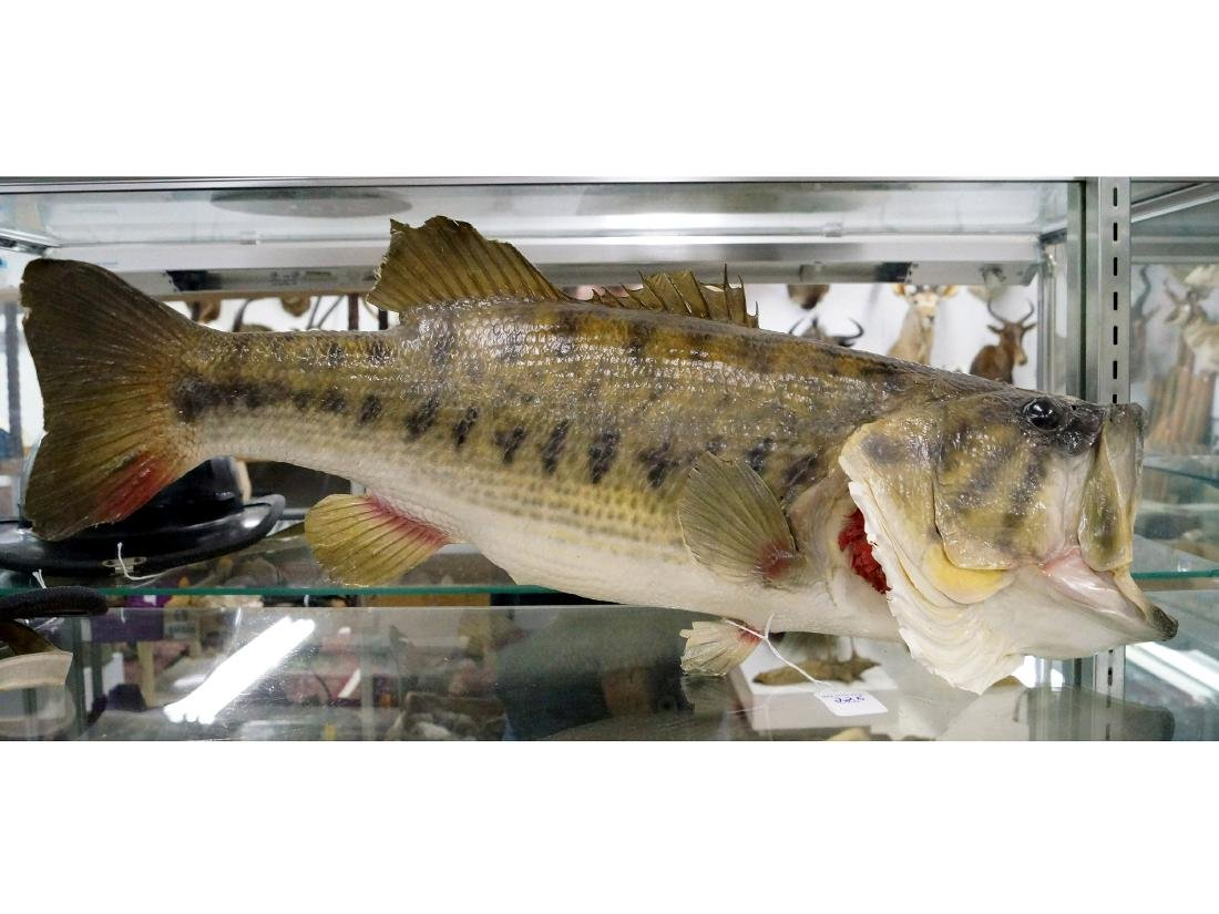 """LARGE MOUTH BASS TAXIDERMY MOUNT. LENGTH 24"""""""