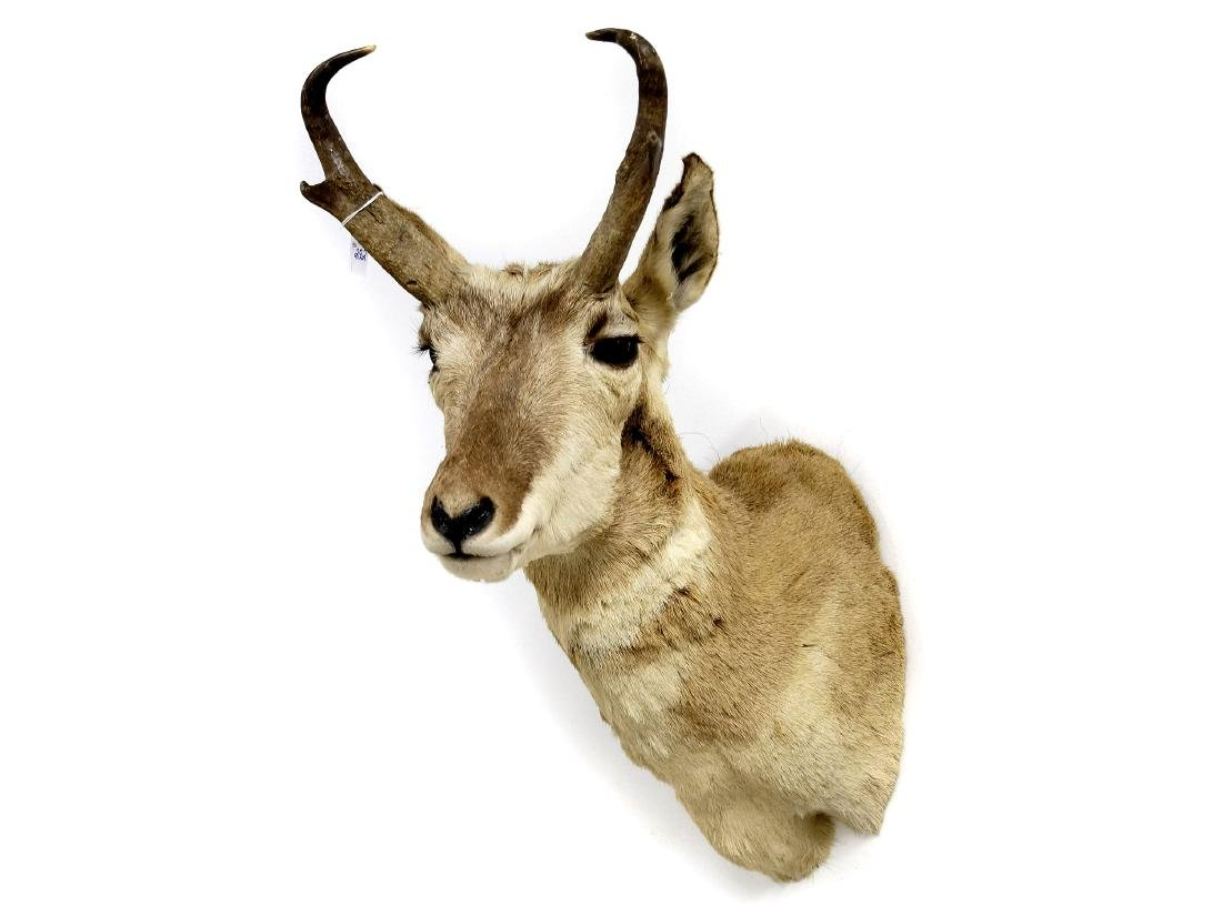 PRONG HORN ANTELOPE TAXIDERMY MOUNT. HEIGHT 36""