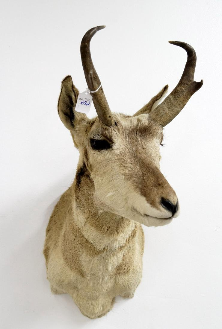 "PRONG HORN ANTELOPE TAXIDERMY MOUNT. HEIGHT 36"" - 2"