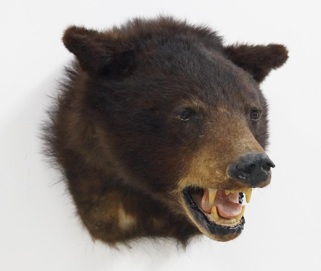 "BLACK BEAR TAXIDERMY MOUNT HEIGHT 12""; WIDTH 12"" - 2"
