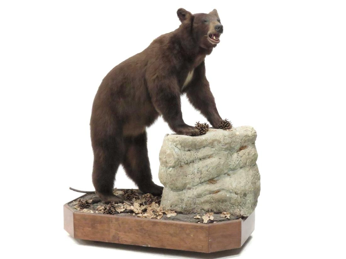 BROWN BEAR FULL BODY TROPHY MOUNT ON SCULPTED BASE.