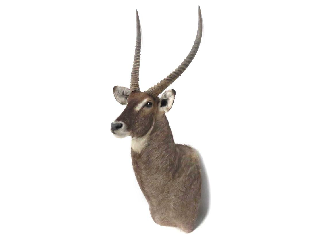 "WATERBUCK SHOULDER TROPHY MOUNT. HEIGHT 59""; HORN 25"""