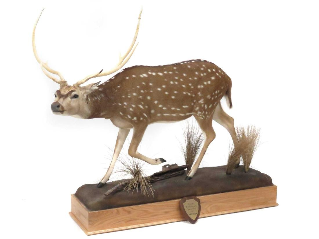 AXIS DEER BUCK FULL BODY TROPHY MOUNT WITH OAK BASE.