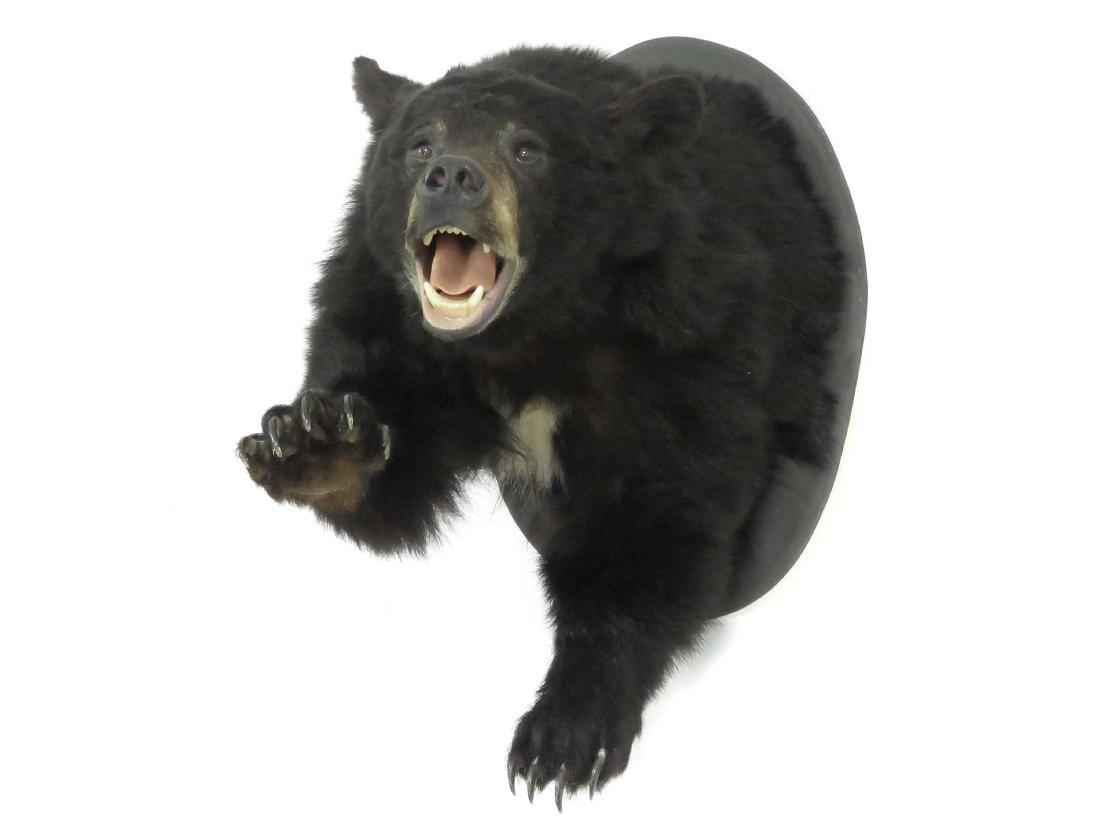 BLACK BEAR SHOULDER TROPHY MOUNT WITH FRONT PAWS.