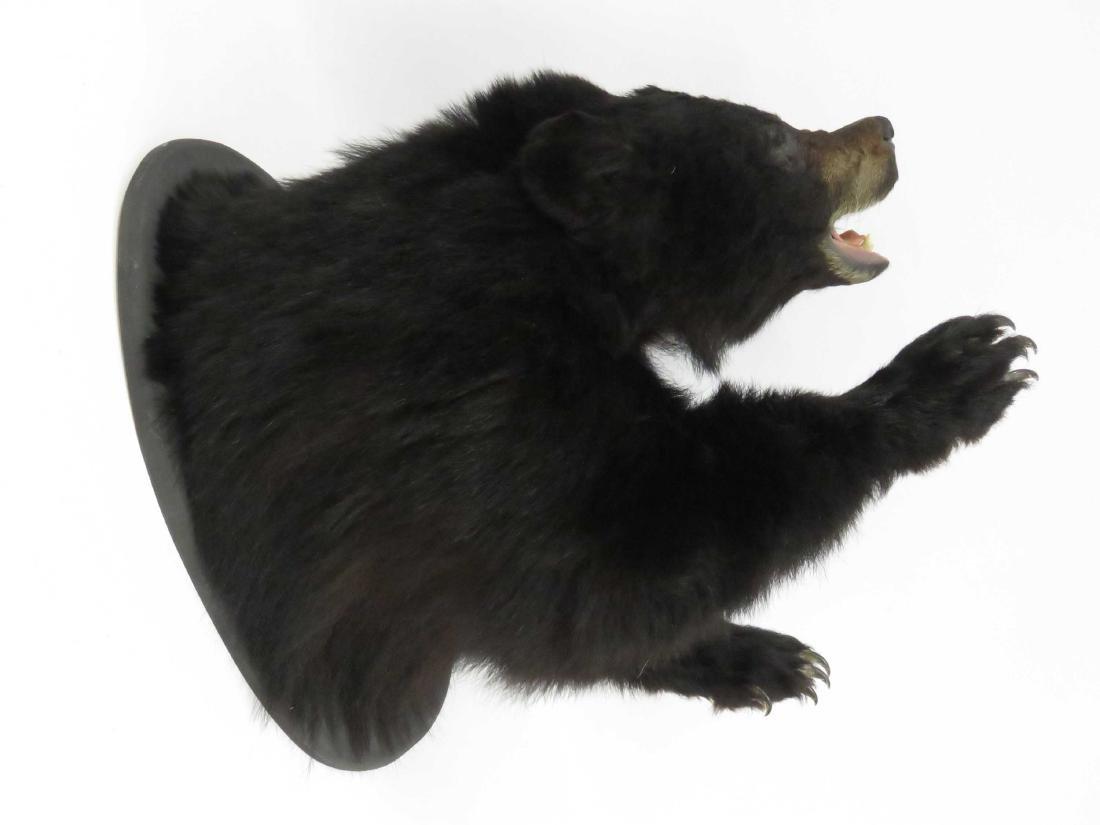 BLACK BEAR SHOULDER TROPHY MOUNT WITH FRONT PAWS. - 2