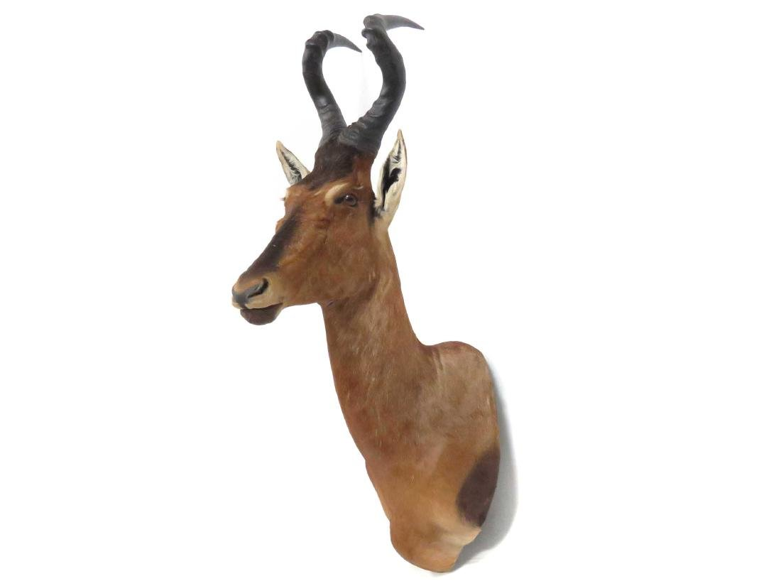 RED HARTEBEEST SHOULDER TROPHY MOUNT. HEIGHT 48""