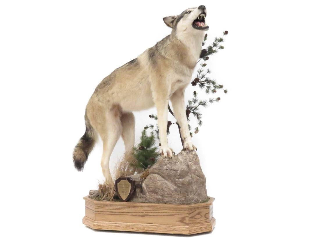 NORTH AMERICAN WOLF FULL BODY TROPHY MOUNT WITH OAK
