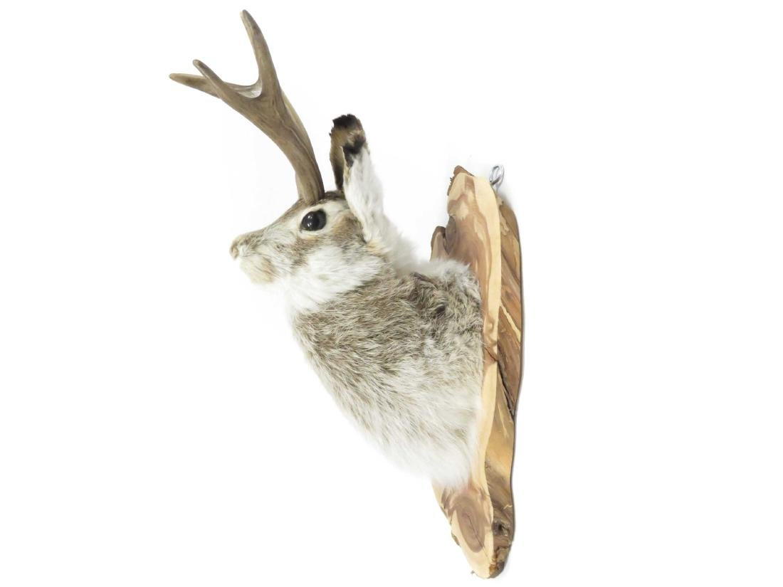 "JACKALOPE TROPHY MOUNT. HEIGHT 18"" - 2"