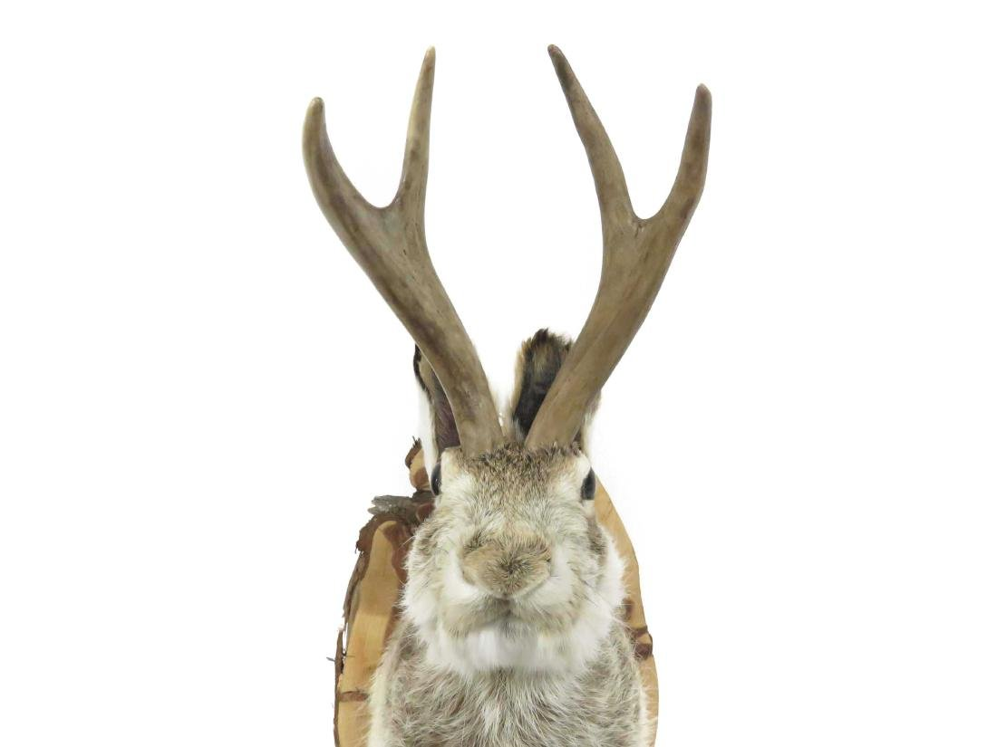 "JACKALOPE TROPHY MOUNT. HEIGHT 18"" - 3"