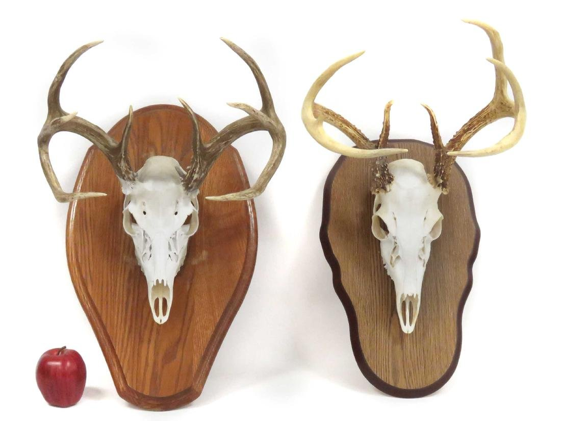 LOT (2) DEER SKULL TROPHY MOUNTS (8-9PTS), ON OAK