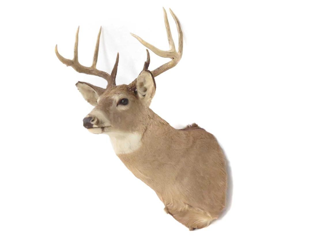 WHITE TAIL DEER HEAD TROPHY MOUNT (9 PT). HEIGHT 42""