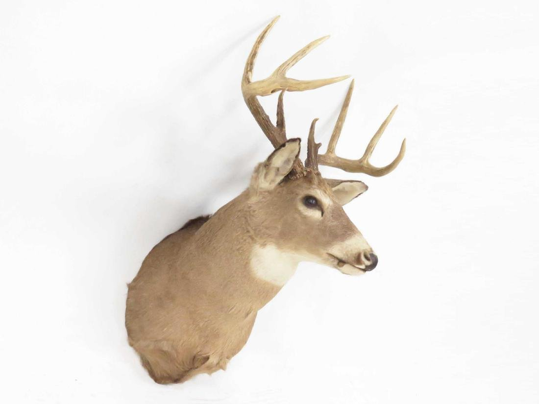 "WHITE TAIL DEER HEAD TROPHY MOUNT (9 PT). HEIGHT 42"" - 2"