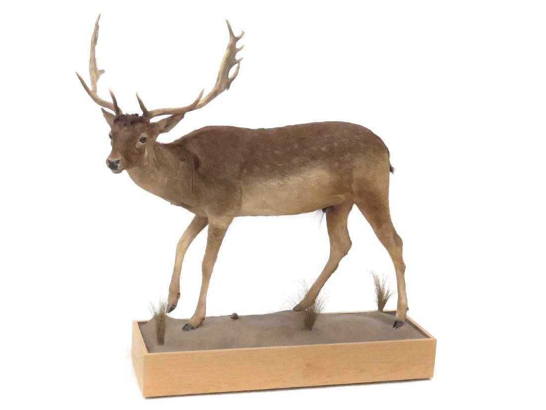 FALLOW DEER FULL BODY TROPHY MOUNT WITH OAK BASE.