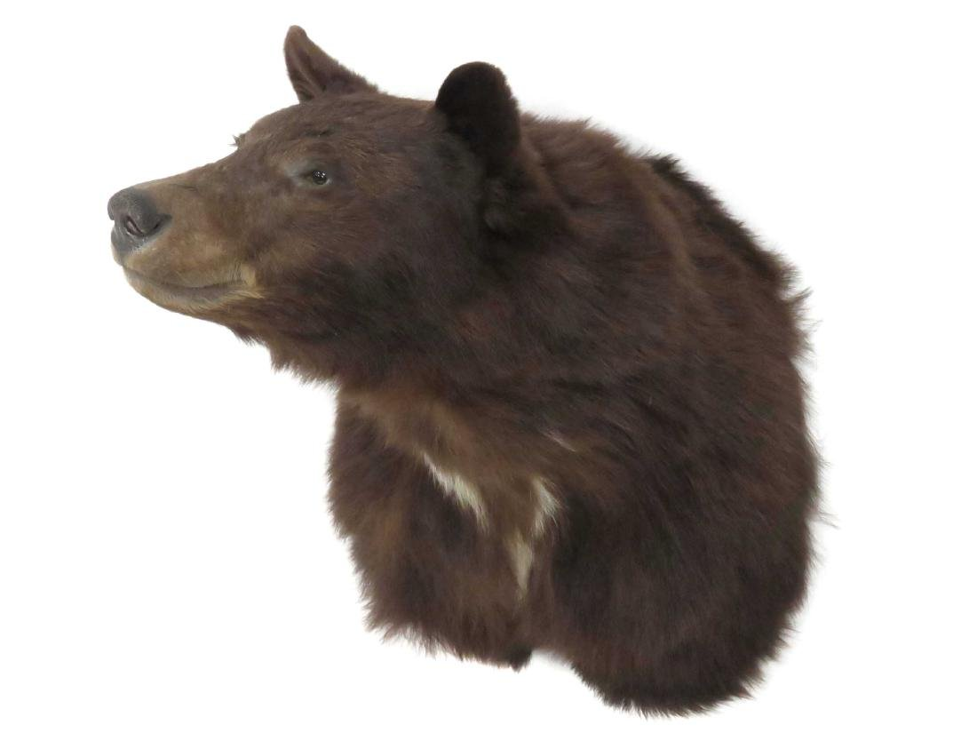 "BROWN BEAR SHOULDER TROPHY MOUNT. HEIGHT 21"""