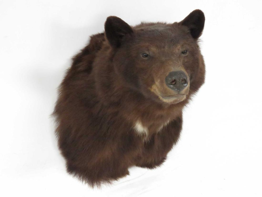 "BROWN BEAR SHOULDER TROPHY MOUNT. HEIGHT 21"" - 2"