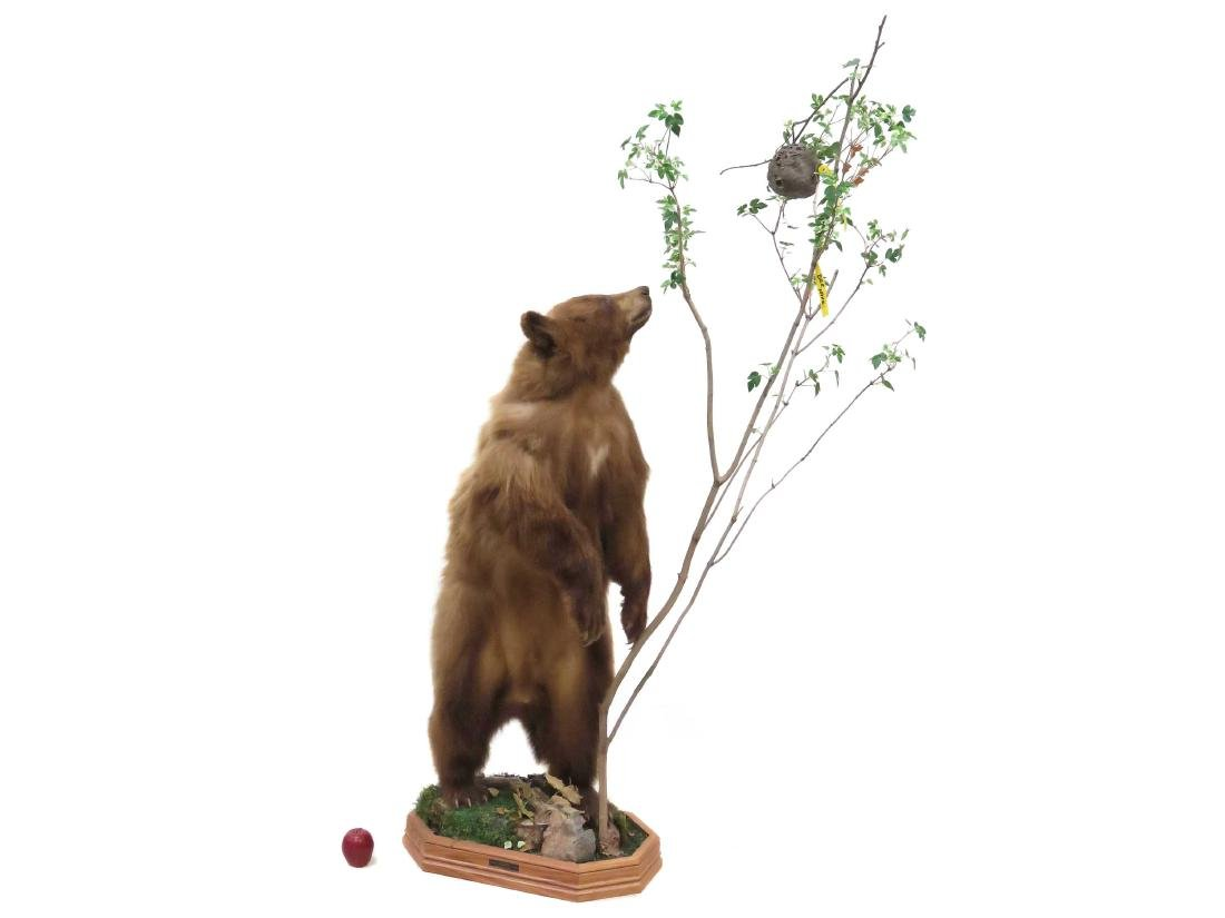 STANDING BROWN BEAR TROPHY MOUNT WITH OAK BASE. HEIGHT