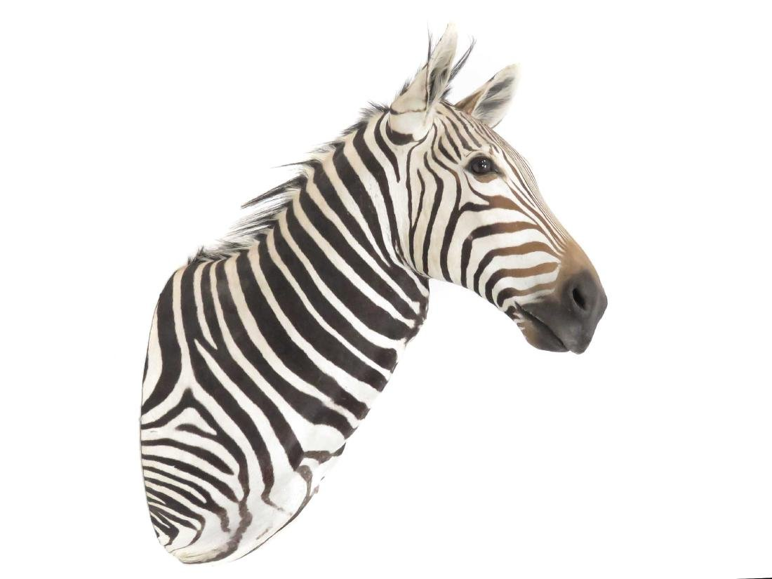 ZEBRA SHOULDER TROPHY MOUNT. HEIGHT 45""