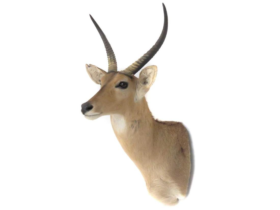 "IMPALA SHOULDER TROPHY MOUNT. HEIGHT 39""; ANTLER/LENGTH"