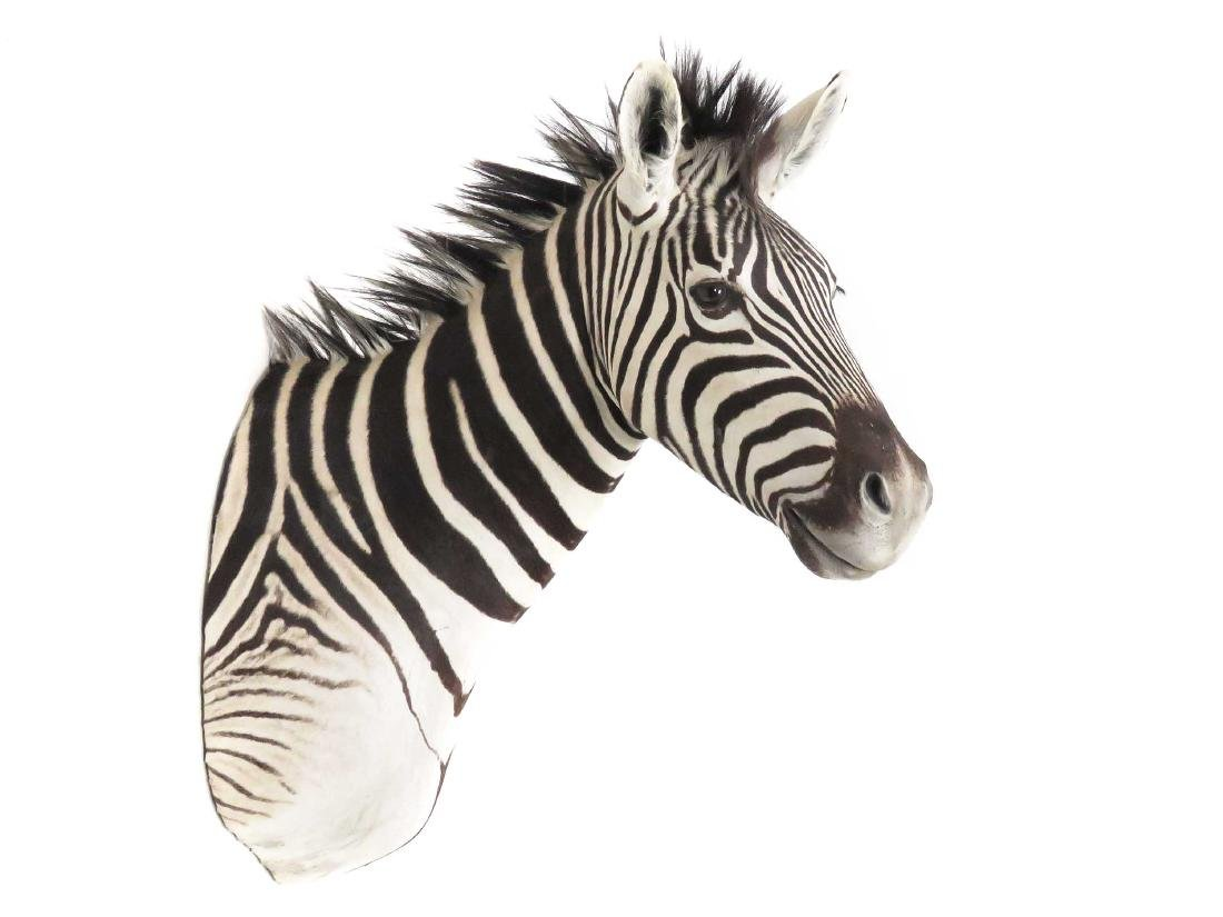 ZEBRA SHOULDER TROPHY MOUNT. HEIGHT 44""