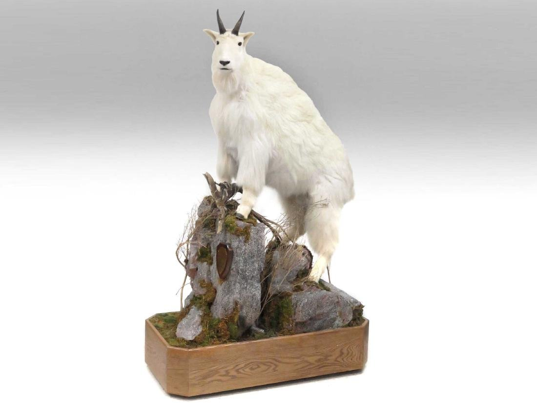 MOUNTAIN GOAT FULL BODY TROPHY MOUNT WITH OUT CROP AND
