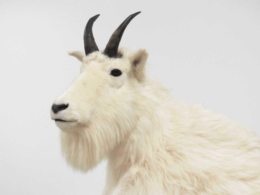 MOUNTAIN GOAT FULL BODY TROPHY MOUNT WITH OUT CROP AND - 2