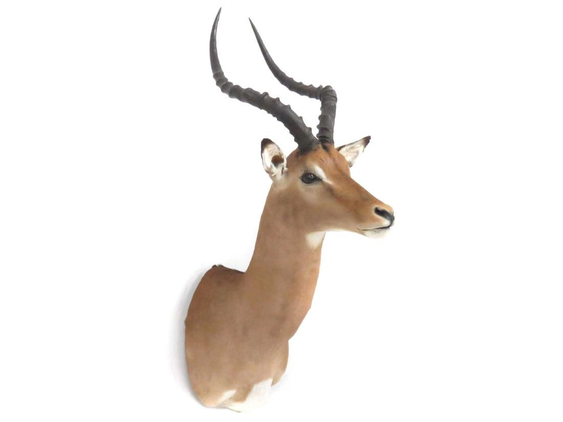 IMPALA SHOULDER TROPHY MOUNT. HEIGHT 39""