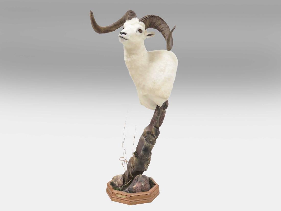 BIG HORN SHEEP SHOULDER TROPHY MOUNT. OVERALL HEIGHT