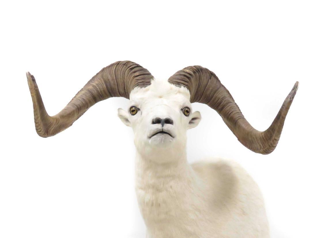 BIG HORN SHEEP SHOULDER TROPHY MOUNT. OVERALL HEIGHT - 2