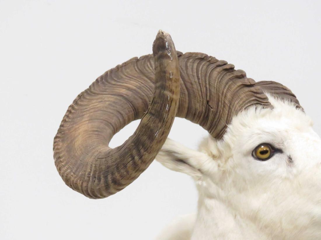 BIG HORN SHEEP SHOULDER TROPHY MOUNT. OVERALL HEIGHT - 3
