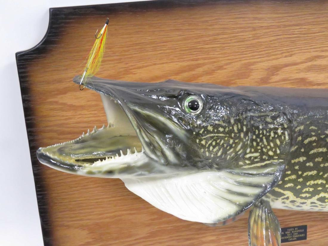 NORTHERN PIKE FULL BODY TROPHY MOUNT WITH FLY. LENGTH - 2