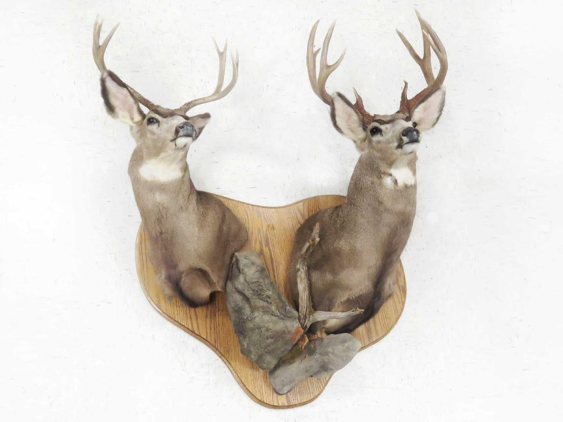 PAIR WHITE TAIL DEER SHOULDER TROPHY MOUNTS (8 PT & 10