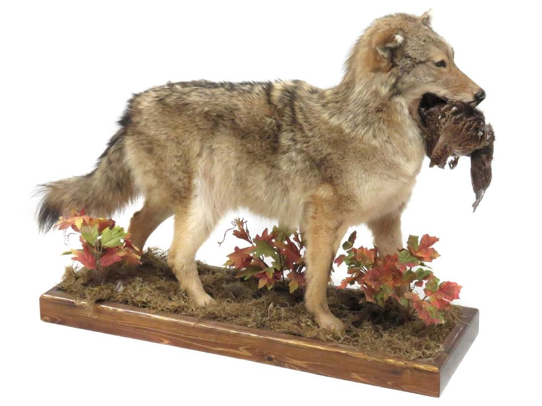 """COYOTE FULL BODY TROPHY MOUNT WITH PREY. HEIGHT 29"""";"""