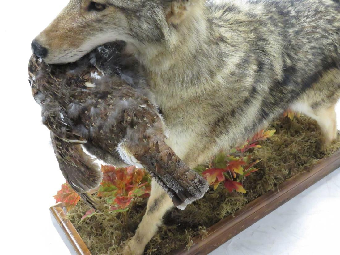 """COYOTE FULL BODY TROPHY MOUNT WITH PREY. HEIGHT 29""""; - 2"""
