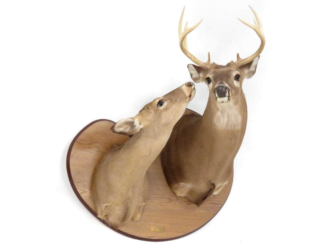 WHITE TAIL DEER DOE & BUCK SHOULDER TROPHY MOUNT (9PT).