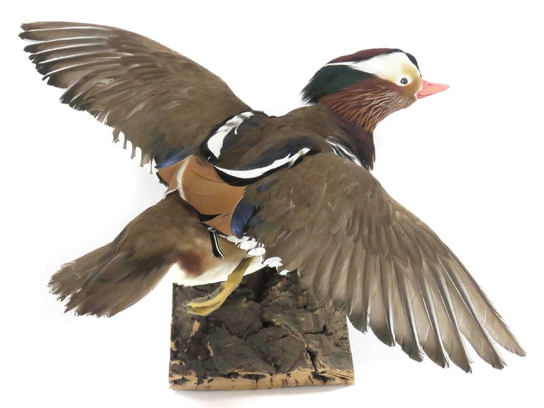 MANDARIN DUCK IN FLIGHT TROPHY WALL MOUNT. LENGTH 18""