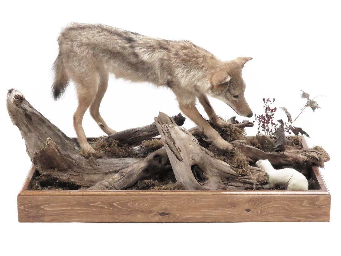 JUVENILE COYOTE FULL BODY TROPHY MOUNT WITH ERMINE AND