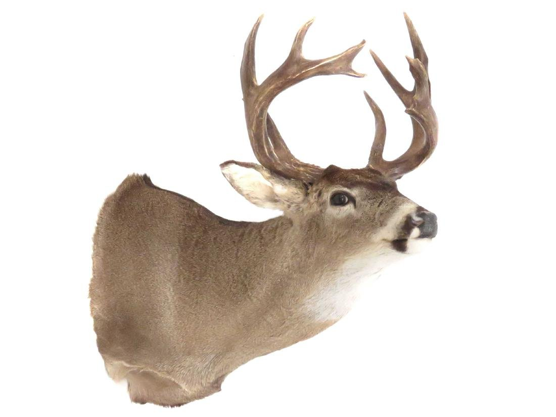 WHITE TAIL DEER BUCK SHOULDER TROPHY MOUNT (10PT).