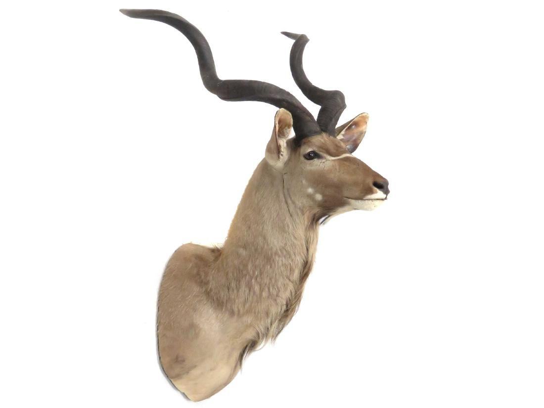 IMPRESSIVE GREATER KUDU SHOULDER TROPHY MOUNT. HEIGHT